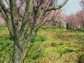ウグイスの鳴き声と枝垂れ梅